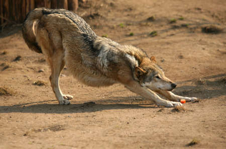 smells: The wolf of steppe smells carrots. Zoo in Moscow