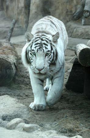 brings: Una tigre bianca zoo a Mosca in Russia. Indiano la gente pensa che un incontro con una tigre bianca porta una buona fortuna Archivio Fotografico