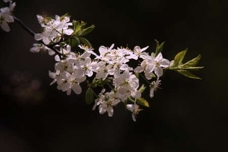 Blossoming cherry on a dark background Stock Photo - 927775