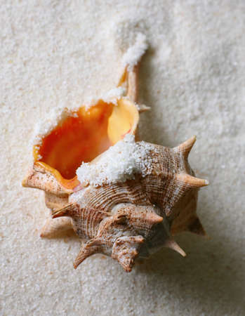 The image of a cockleshell close-up on sand photo