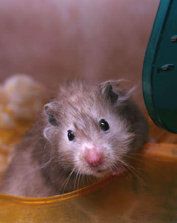 hamsters: Grey hamster in the house