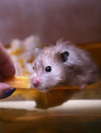 hamsters: Feeding of a hamster by cheese