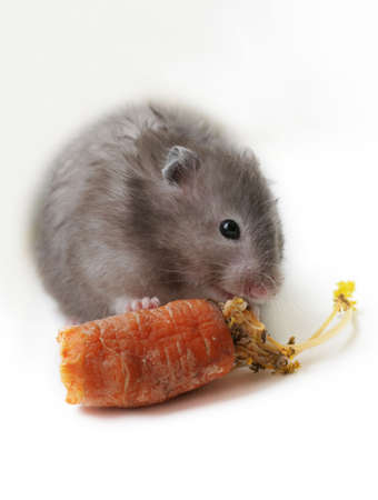 hamsters: Grey hamster with carrots on a white background Stock Photo