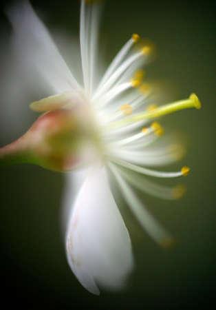 Flower cherry close-up. Macro-rings Stock Photo - 1342819