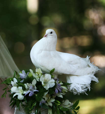 The pigeon in hands at the bride