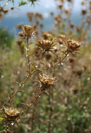 prickle: Wild flower - a prickle on a background of the sky Stock Photo