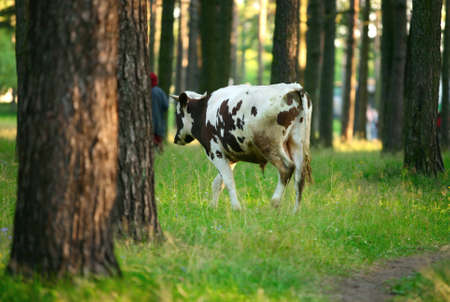 A black-white grazing cow in green meadow in forest Stock Photo - 1694012