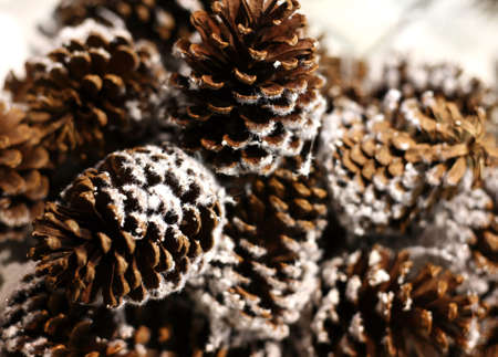 Pine cones in snow on a tree of fur-tree Stock Photo