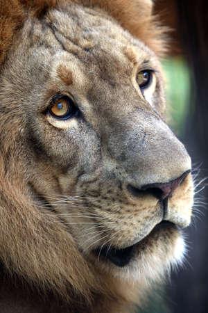Portrait of a lion close-up. Bali a zoo Stock Photo - 2045830