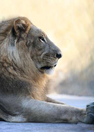 Portrait of a lion close-up. Bali a zoo photo
