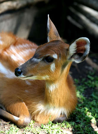 Young deer in bali a zoo. Bali. Indonesia Stock Photo - 2114977