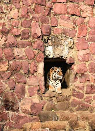 The tiger looks out from a hole. The Moscow zoo photo