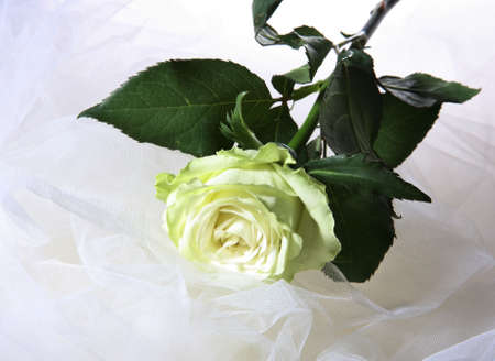 greenish: Greenish rose on a white fabric