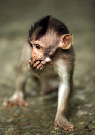 female nipple: Il figlio di scimmie. Bali uno zoo. Indonesia  Archivio Fotografico