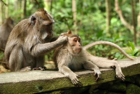 biped:  of monkeys. Bali a zoo. Indonesia
