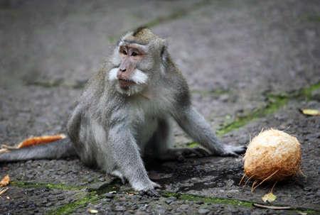 female nipple: La scimmia con un cocco. Legno di scimmie. Indonesia. Bali
