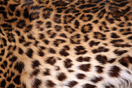 Full screen high resolution shot of a skin of the leopard. Good for a texture or a background Stock Photo