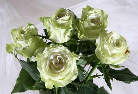 greenish: Greenish roses on a white fabric Stock Photo