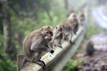 female nipple: Famiglia di scimmie. Bali. Indonesia