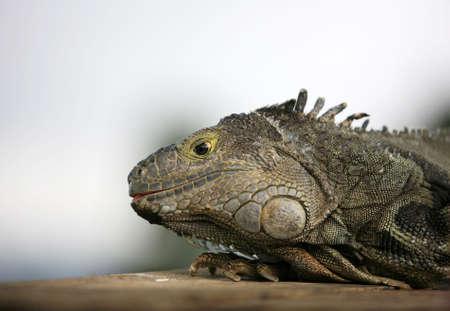 komodo: Ritratto di una lucertola di close-up nel giardino zoologico. Bali. Indonesia