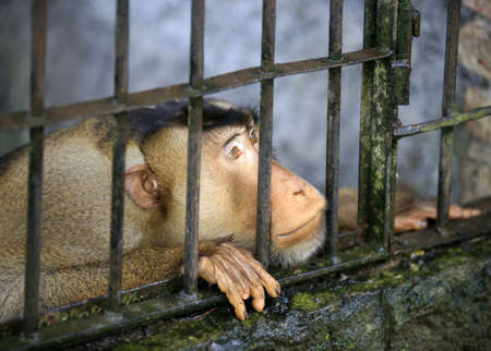 waiting convict: Monkey looking out through the cage. Bali. Indonesia