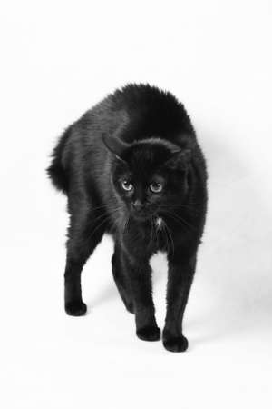 The scared black cat isolated on a white background