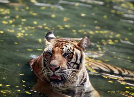 Picture of a bengal tiger in the water. Zoo in Thailand, Pattaya photo