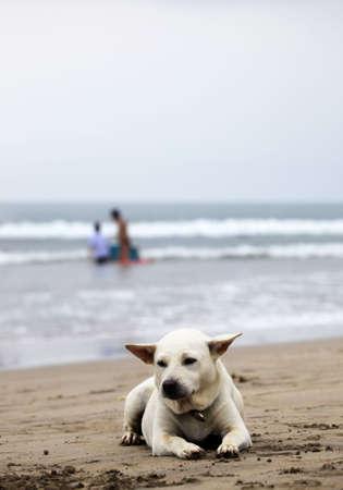 bali beach: White dog on a Bali beach Stock Photo