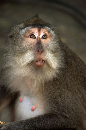 Portrait of the monkey with an amusing grimace Stock Photo - 7541017
