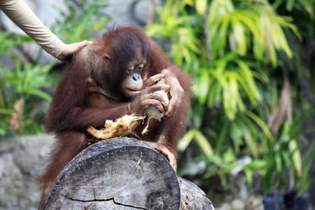 Young orangutan with a nut of a coco. Bali zoo. Indonesia Stock Photo - 7696078