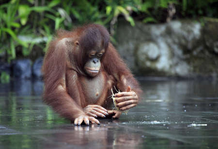 The small orangutan with a nut of a coco. Bali zoo. Indonesia Stock Photo - 7696077