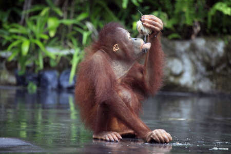 Young orangutan with a nut of a coco. Bali zoo. Indonesia photo