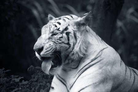 The white tiger yawns. Safari - park. Bali. Indonesia photo
