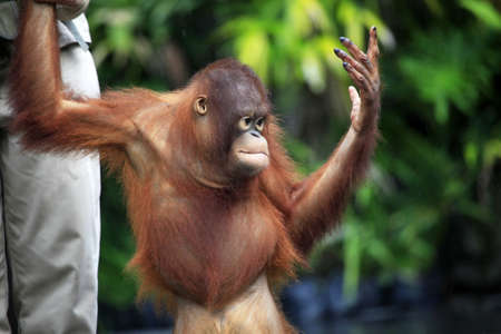 Young orangutan in safary park on Bali. Indonesia photo