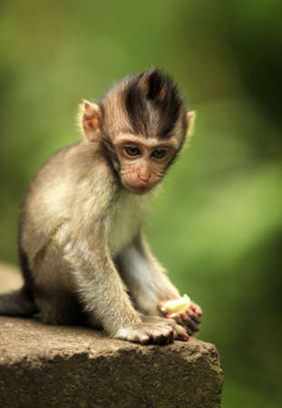 simian: The child of monkeys. Bali a zoo. Indonesia