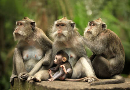 Family of monkeys. Bali a zoo. Indonesia 免版税图像