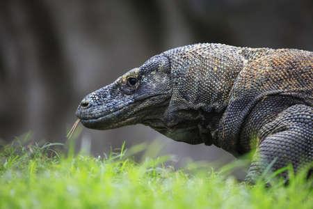 komodo: Komodo Dragon. Bali zoo, Indonesia Stock Photo