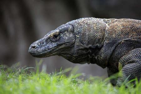 komodo: Komodo Dragon. Zoo di Bali, Indonesia