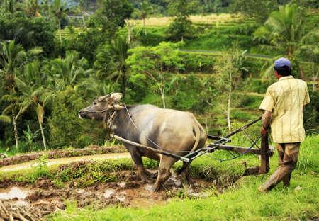 The Asian farmer and a buffalo. Bali. Indonesia photo