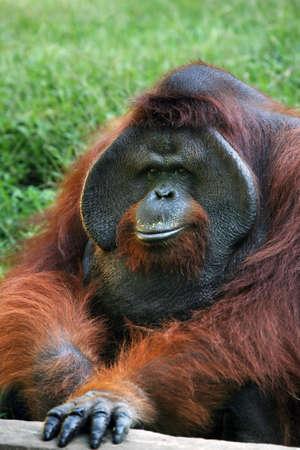 apes: The orangutan in zoo on Bali. Indonesia