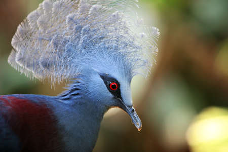 aves: Victoria Crowned Pigeon (Goura Victoria). A zoo of Bali, Indonesia Stock Photo