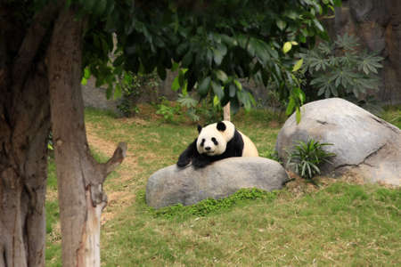 Grand panda bear in zoo Hong Kong Stock Photo - 13214792