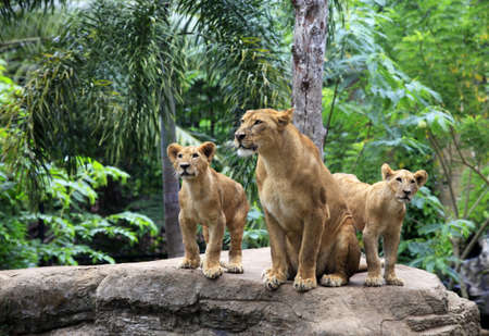 animals together: Family of lions in a zoo. Bali. Indonesia