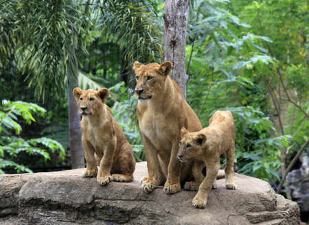 Family of lions in a zoo. Bali. Indonesia photo