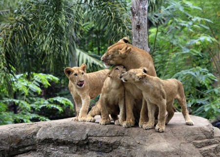 Family of lions in a zoo. Bali. Indonesia