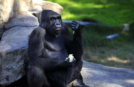 Gorilla eating cabbage in a zoo of San Francisco Stock Photo - 15217519