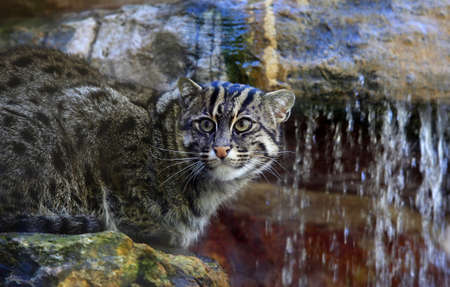 Wild cat in a zoo of San Francisco photo