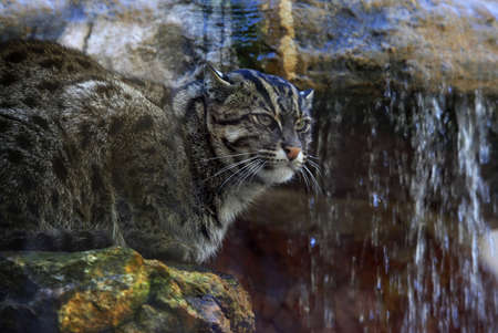 hiss: Wild cat in a zoo of San Francisco