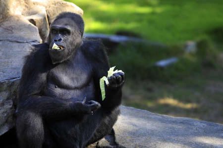 Gorilla eating cabbage in a zoo of San Francisco Stock Photo - 15217509