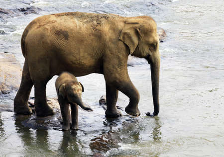 Family of Indian elephants  Pinnawela Elephant Orphanage on Sri Lanka photo